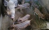 Ở Tây Nguyên có loài heo đặc sản lạ, nhỏ con nhưng thịt rất ngon, tự ăn, tự đẻ, tự vào rừng chơi