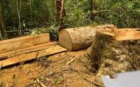 Khởi tố Trạm trưởng bảo vệ rừng và 2 nhân viên khai thác gỗ trái phép