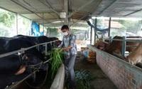 Vào chi, tổ hội nghề nghiệp ở Bình Định: Nông dân Tây Vinh được xã cấp 3ha đất trồng cỏ, nuôi bò