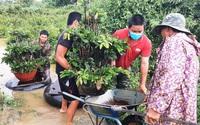 Bình Định: Trồng mai vàng bán tết, nông dân hò nhau hối hả đưa cây đi chạy lũ