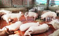 Cục chăn nuôi khuyên người nuôi heo nên tái đàn ngay lập tức vì lý do này