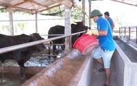 """Quảng Nam: Nông dân Phú Ninh làm giàu nhờ được """"bơm"""" vốn nuôi bò 3B, nuôi thỏ"""