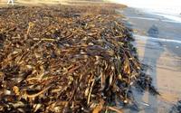 Kinh hoàng cảnh tượng hàng nghìn sinh vật chết trôi, dạt vào bãi biển ở Anh