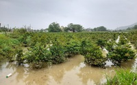 """""""Thủ phủ"""" mai vàng miền Trung ngập trong biển nước, người trồng mai Tết lo sốt vó"""
