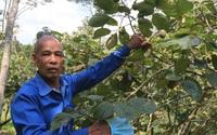 Ngược ngàn tìm trái hồng Vành khuyên (kỳ 1): Thăm cây hồng tổ