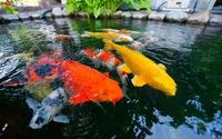 5 loại cá cảnh dễ nuôi nhất, có hình dáng và màu sắc bắt mắt, người mới bắt đầu cũng chơi tốt