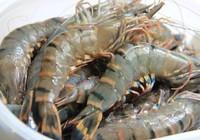 Trung Quốc cấm nhập khẩu tôm từ Ecuador, cơ hội lớn cho tôm Việt Nam.