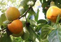 Bỏ cây thuốc phiện trồng hồng, nông dân Kỳ Sơn tha hồ hái ra tiền