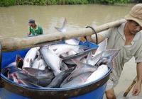 """Xuất khẩu cá tra sang Mĩ """"lao dốc"""" mạnh, ngư dân lao đao"""