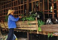Hồ tiêu rớt giá thảm, dân Bình Phước nuôi dê, trồng bưởi lại dư dả