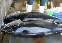 Xuất khẩu cá ngừ sang Italy tăng hơn 8.500%