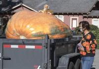 Nông dân 'bán' 1 quả bí ngô khủng được gần 400 triệu đồng