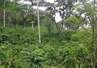 Đắk Lắk hướng tới sản xuất cà phê thông minh kết hợp phục hồi rừng
