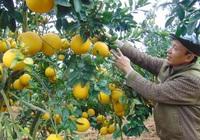 Bắc Giang lên kế hoạch thu hút du khách đến vườn trái cây Lục Ngạn