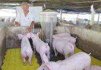 Giá lợn hơi hôm nay (24/11): Miền Nam vẫn giữ mức cao nhất cả nước