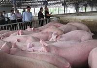 Giá lợn hơi hôm nay (26/11): Cả ba miền đều có xu hướng giảm