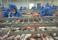 Không nôn nóng chào giá thấp, hạ giá cá tra nguyên liệu