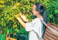 """Mô hình trồng quýt gắn với du lịch """"hái"""" ra tiền"""