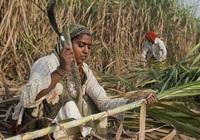 WTO sắp giải quyết loạt khiếu nại về trợ cấp mía đường của Ấn Độ