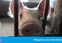 Trúng đòn kép: Vua thịt lợn Trung Quốc bị tàn phá