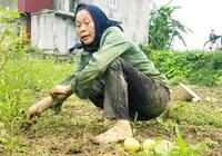 Xót xa dân trồng 4 sào dưa lê không bán được quả nào