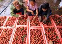 """Vải thiều tiêu chuẩn quốc tế """"cháy hàng"""", nhiều hộ nông dân tăng gấp đôi doanh thu"""