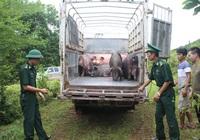 Giá heo hơi hôm nay 6/6: Buôn lậu lợn sống đang diễn biến phức tạp