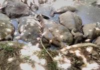 14 con trâu lăn ra chết bất thường trong vũng đầm ở Hà Nội