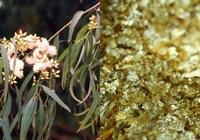 Loài cây hút vàng trong lòng đất, lá trổ ra vàng được trồng ở Việt Nam