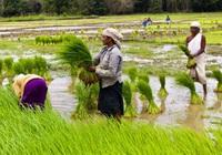 Sản lượng gạo của Ấn Độ dự báo sẽ tăng cao lên mức kỷ lục