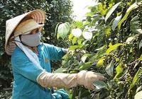 Ấn Độ siết chặt tiêu chuẩn, hồ tiêu Việt Nam có thể gặp khó