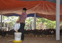 """8X khởi nghiệp từ nuôi gà thả đồi, """"đút túi"""" hơn 300 triệu đồng/năm"""