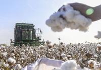 Doanh nghiệp Mỹ tìm đường xuất khẩu bông sang Việt Nam
