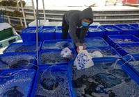 """Cả ngàn tấn cá mú bí đầu ra, giá giảm một nửa vẫn khó """"giải cứu"""""""