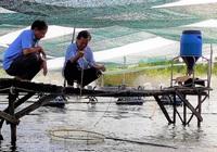 Cải tiến các mô hình, tổ chức lại sản xuất để nuôi tôm hiệu quả