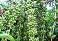 Việt Nam trở thành nước cung ứng cà phê hàng đầu vào Nhật Bản