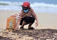 Vì sao ốc dạt vào bờ biển Quảng Bình dày đặc?