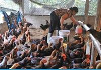 Thịt gà nhập khẩu siêu rẻ lấn át thịt gà trong nước