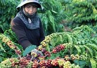 Giá nông sản hôm nay (16/1): Tiêu tiếp tục ảm đạm, cà phê đảo chiều tăng
