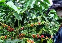 Thiếu người hái cà phê dù giá công tới 300 ngàn đồng/ngày
