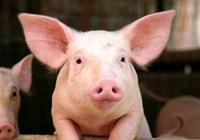 Bản tin giá nông sản 20/1: Giá lợn hôm nay thấp nhất 80.000 đồng/kg, giá tiêu có tín hiệu vui