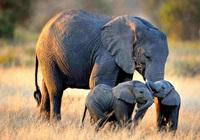Voi châu Phi đứng trên bờ vực tuyệt chủng do nạn săn bắt trộm