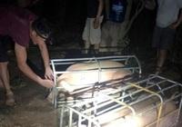 Lợn tìm đường xuất lậu sang Trung Quốc, kéo giá trong nước tăng cao