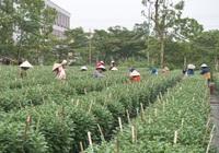 Đà Nẵng: Sinh viên ngắt búp hoa kiếm tiền triệu dịp Tết Nguyên đán