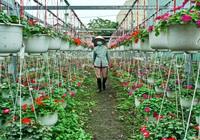 Làng hoa Xuân Trường tất bật chuẩn bị hàng chục nghìn chậu hoa phục vụ Tết