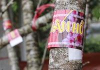 Ảnh: Đào rừng gắn tem truy xuất nguồn gốc xuất hiện tại Hà Nội