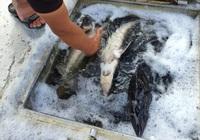 Cá tầm nhập lậu tràn lan, nguy cơ ảnh hưởng đến sức khỏe người tiêu dùng