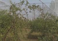 Trồng táo hồng trong nhà lưới, ông nông dân thu về hàng trăm triệu mỗi năm