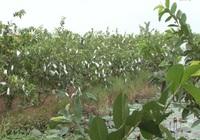 Anh nông dân trồng ổi theo quy trình VietGAP, mỗi năm thu về gần nửa tỷ đồng