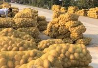 Khoai tây được mùa được giá, nông dân Nghệ An phấn khởi thu hoạch